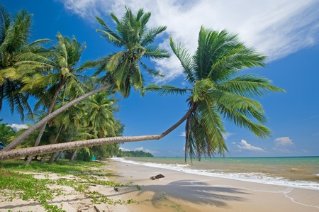 Group of coconut tree on the beach, Thailand  photo