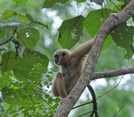 Wild White-handed Gibbon in a Teak Tree in Khao Yai National Park, Thailand  photo