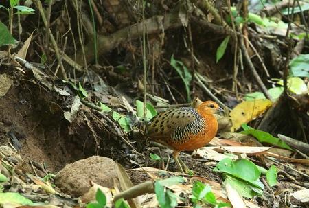 Ferruginous Partridge(female)  Stock Photo