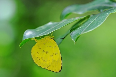 The butterfly postpones eggs on a green leaf