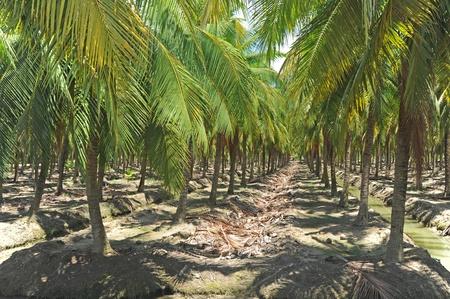 Coconut plantation photo