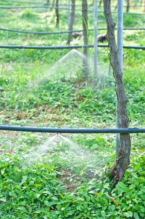 Sprinkling machine in grape plantation  Stock Photo