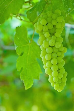 Green grape  photo