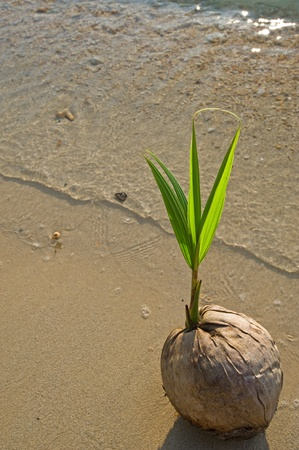 Young coconut tree on the beach  Stock Photo