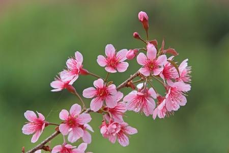 Pink sakura flowers Stock Photo - 12392956