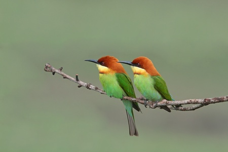 Couple of Chestnut-headed Bee-eater