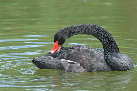 billed: Black Swan  Cygnus atratus   Stock Photo