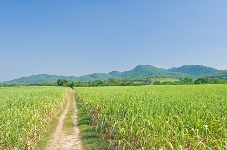 Sugarcane and road with mountain and blue sky  photo
