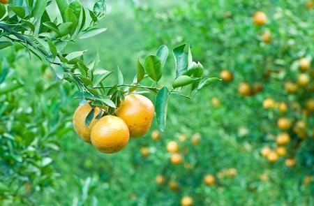 Oranje boomgaard in het noorden van Thailand