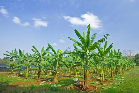 Banana field with blue sky, Thailand