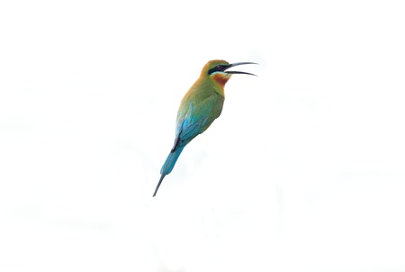 Blue-tailed Bee-eater isolated on white background  photo