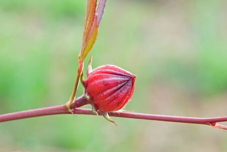 Hibiscus sabdariffa or roselle fruit photo