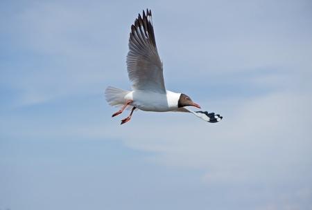 aves: Flying seagull