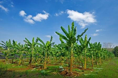 Banana field with blue sky, Thailand  photo