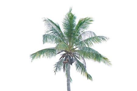 Coconut tree isolated on white background Stock Photo