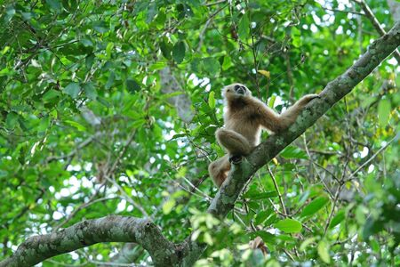Common Gibbon Stock Photo - 13728735