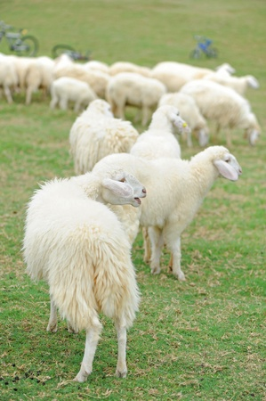 Group of sheep on grass