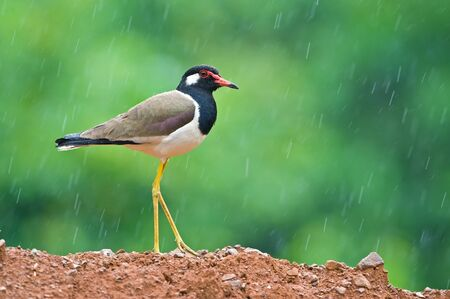 Red-wattled Lapwing with raindrop Stock Photo - 14005589