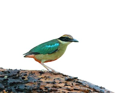 Fairy Pitta isolated on white background Stock Photo - 14005584