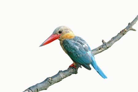 Stork-billed Kingfisher isolated on white background Stock Photo - 14005587