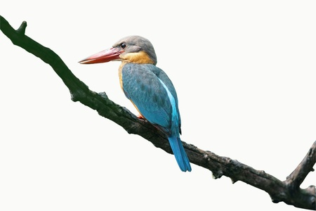 Stork-billed Kingfisher isolated on white background Stock Photo - 14005586