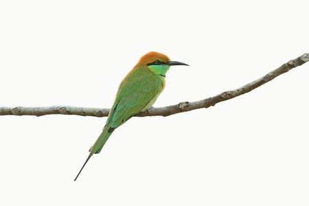 Green Bee-eater isolated on white background