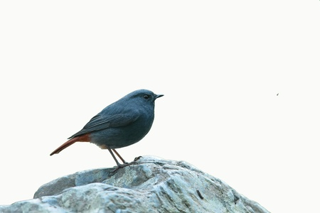 Plumbeous Redstart  male  isolated on white background Stock Photo - 14005588
