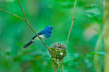 Black-naped Monarch  male  with nest Stock Photo