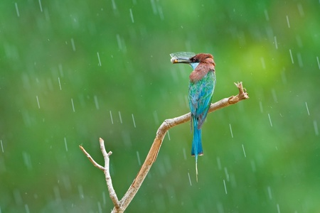 Blue-throated Bee-eater with raindrop