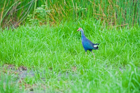Purple Swamphen Stock Photo
