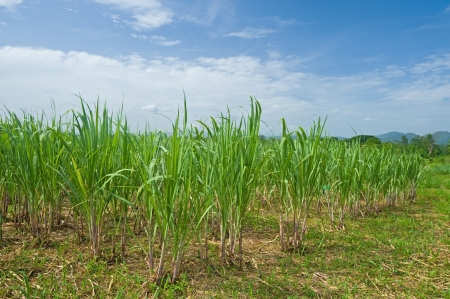 Sugar cane plantation photo
