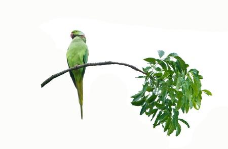 Rose-ringed Parakeet male  isolated on white background Stock Photo - 14227844