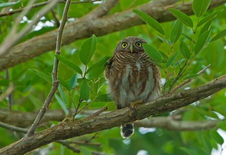 owlet: Asian Barred Owlet