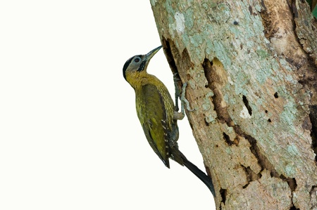 Laced Woodpecker female  isolated on white background Stock Photo - 14310231