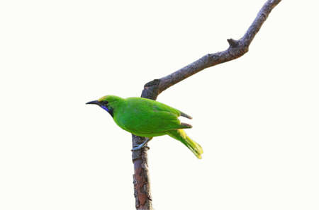 Golden-fronted leafbird  isolated on white background Stock Photo - 14310236
