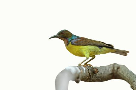 Brown-throated Sunbird  isolated on white background  Stock Photo - 14310229