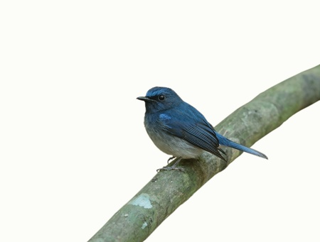 Hainan blue Flycatcher isolated on white background Stock Photo - 14310233
