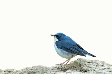 bird beaks: Siberian blue Robin isolated on white background
