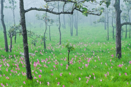 Field of siam tulip in the mist, Pa Hin Ngam National Park, Thailand