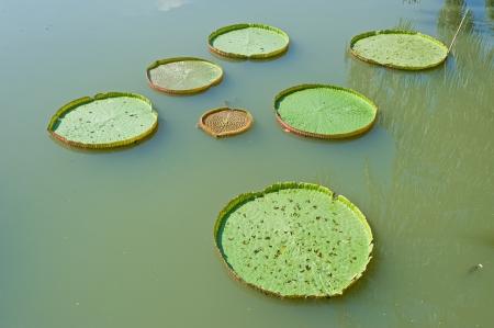 Victoria lotus leaf