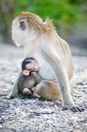 Long-tailed Macaque feeding her baby photo