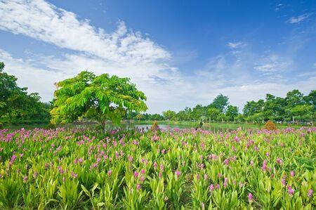 Field of siam tulip Stock Photo
