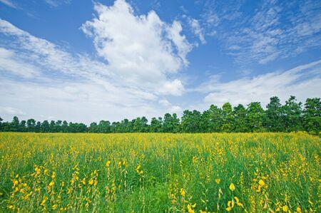 Sunn hemp field  Crotalaria juncea