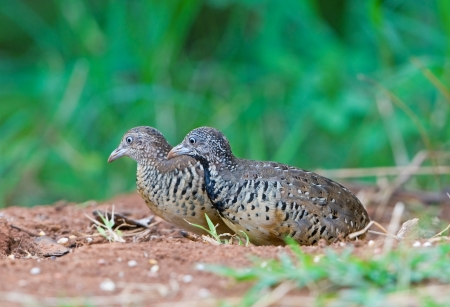 Couple of Barred Buttonquail