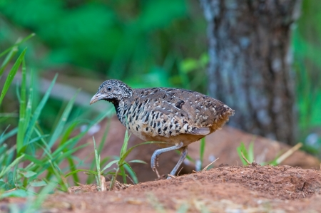 barred: Barred Buttonquail  female