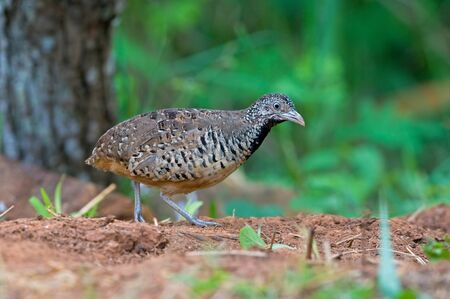 Barred Buttonquail  female  Stock Photo - 14848627