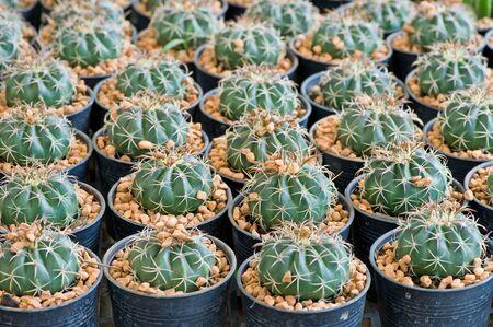 Nursery grouping of cacti