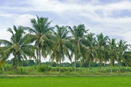 Rice field in Thailand  Coconut tree as background  Stock Photo