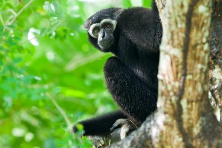 gibbon: White Gibbon  Stock Photo