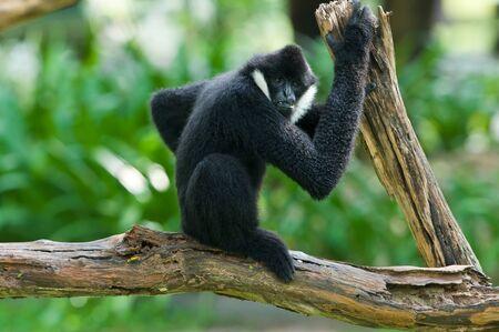 Male White-cheeked gibbon  Nomascus leucogenys  Stock Photo